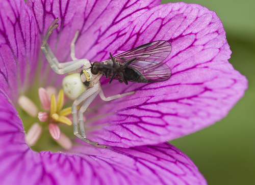 Crab spider eating fly