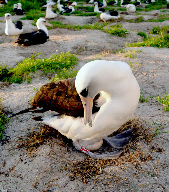 Wisdom: Oldest Bird in World to Hatch New Chick