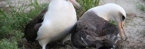 Wisdom and her mate prepare to begin their first shift of incubation, Photo credit: Pete Leary, USFWS