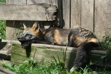 sleepingfox